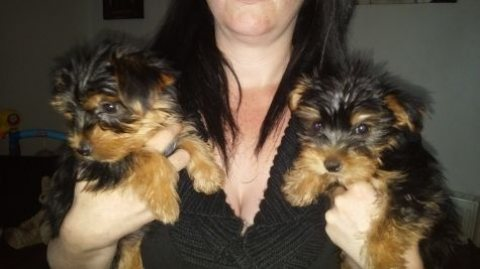 I have a male and female Yorkie puppies.