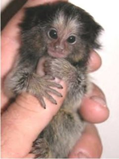 lovely baby Marmoset Monkeys for re homing