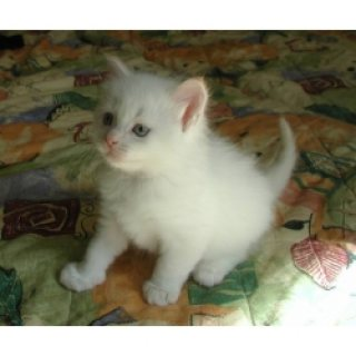 They are purebred Persian kittens with deep blue eyes good for