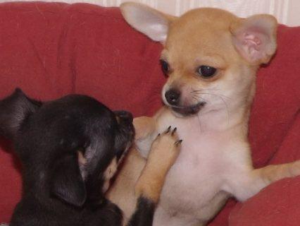 Georgious Chihuahua Puppies Ready