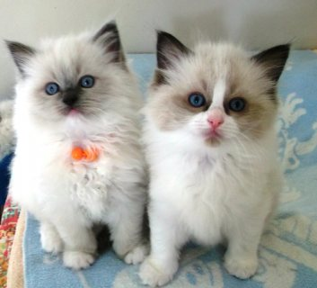 صور Pure bred Ragdoll kittens for sale 1
