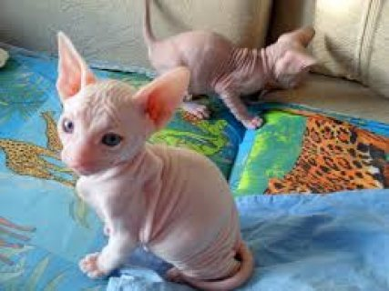 2 Sphynx kittens ready for sale