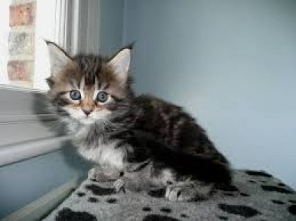 male and female main coon kittens ready for a new home
