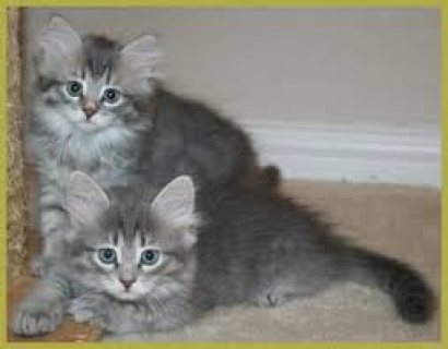 صور Adorable male and female Siberian kittens for sale. 1