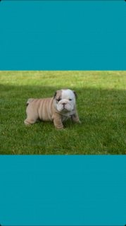 صور Stunning Litter Of Kc Reg English Bulldog Puppies 1