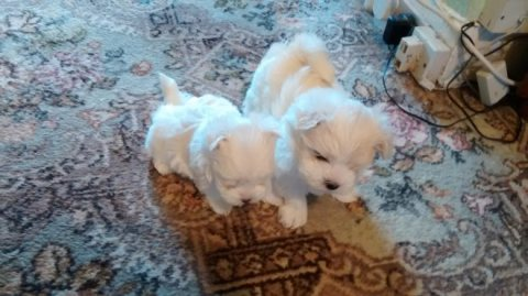 Adorable Maltese Puppies Kc Reg