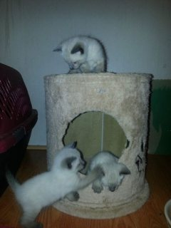 Good looking Beautiful Traditional Siamese Kittens