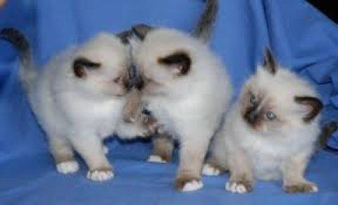 Pure breed Birman kittens for sale