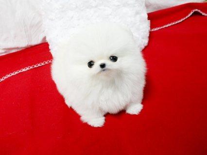 Pedigree pomeranian Puppies Ready For sale