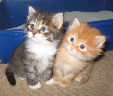 Siberian kittens ready to meet a loving and caring family