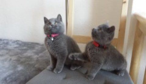 صور available very cute and chunky blue British Short hair kittens f 1