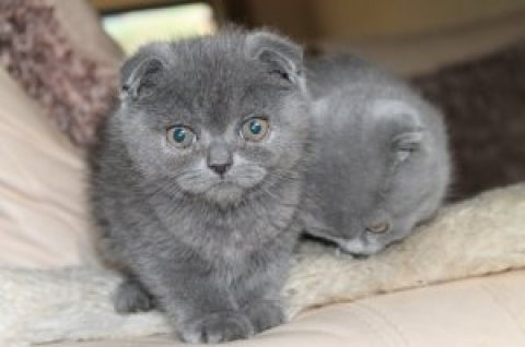 Solid blue Scottish Fold British Short Hair kittens Available.