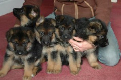 Superb Quality German Shepherd Puppies