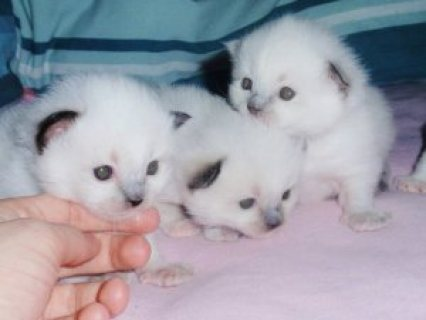 Gorgeous Pedigree Ragdoll Kittens for sale
