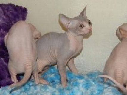 Purebred Sphynx Kittens for sale