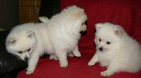 Gorgeous Pomeranian Puppies for sale.