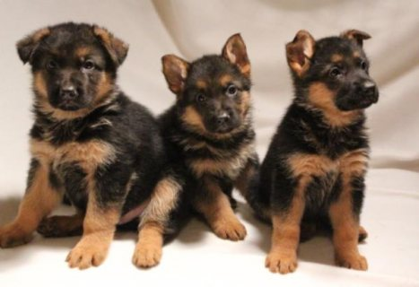 German Shepherd Puppies For Sale