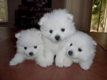 Gorgeous Micro Pomeranian Pups Available