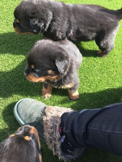 Stunning Shipoo Puppies - All Reserved