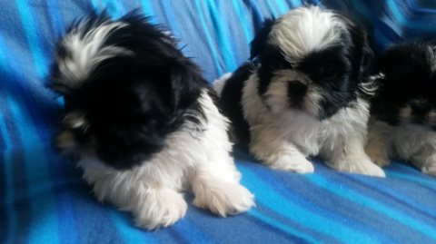 Imperial Shitzu Puppies For Sale!