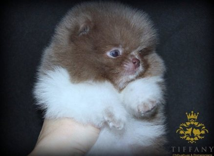 TEACUP POMERANIAN PUPPIES FOR GOOD HOMES