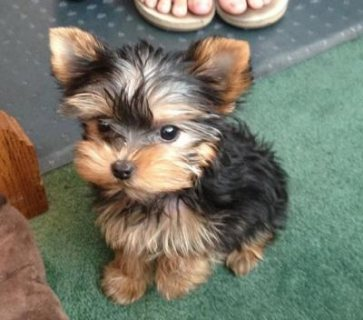Vaccinated Yorkshire Terrier Puppy for sale.