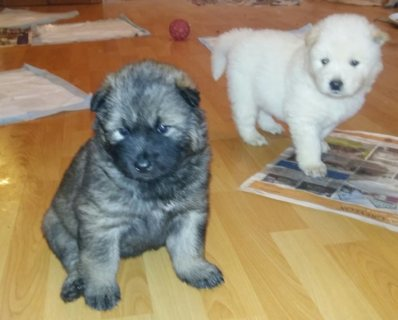 Akita Inu Puppies for sale