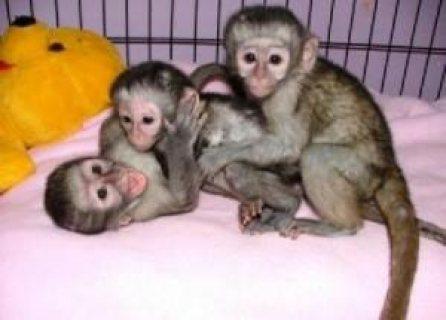 capuchin available foe sale