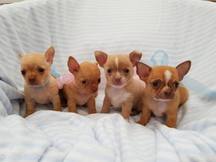 Lovely Apple Head Chihuahua Puppies For Sale
