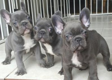 Adorable French Bulldog Puppies Ready