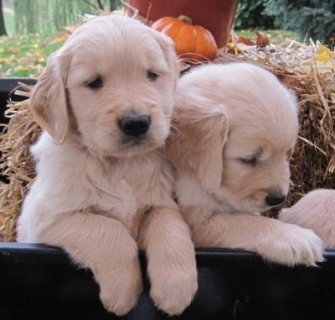 Goldern Retriver puppies