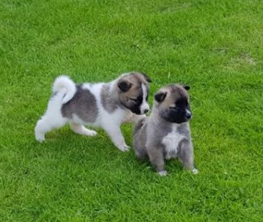 Akita Purebred Puppies Available For Sale