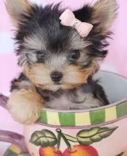 Cute Teacup Yorkie puppies for sale