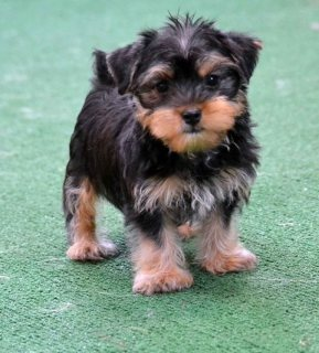 Yorkie Puppies available and ready