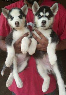 AKc Reg Stunning Quality Blue Eyed Siberian huskies Pups