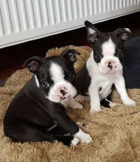 Boston Terrier Puppies For New Homes