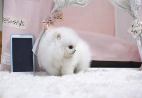 صور Teacup Pomeranian for sale  1
