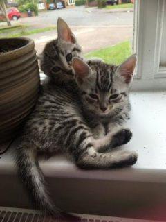 Pedigree Egyptian Mau Kittens For Sale