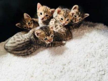Adorable Savannah Kittens