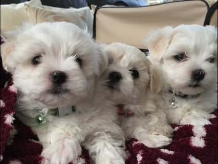 Gorgeous Maltese Puppies For Sale