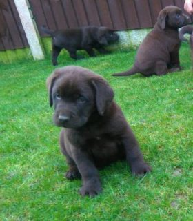 Affectionate Chocolate Labrador Puppies For Sale