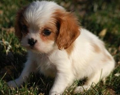 Two Cavalier King Charles Spaniel puppies now available