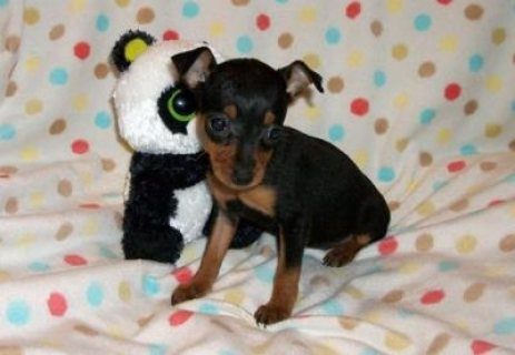 Pincher Puppies now available