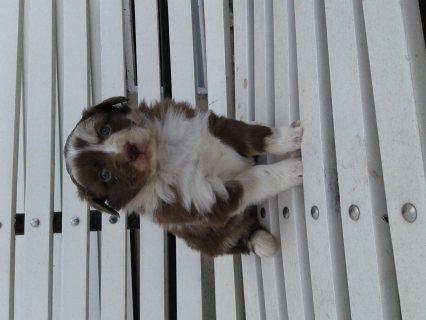 Australian shepherds puppies
