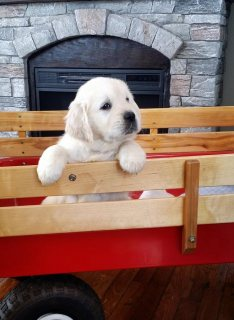 We have Golden Retriever puppies for sale