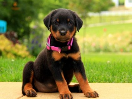 Cute Rottweiler Puppies for Sale