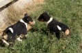 Basenji Puppies for good home