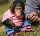 Baby chimpanzee sociable for new lovely families