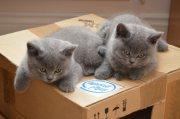 أفضل القطط الزرقاء الشعر القصير البريطانية