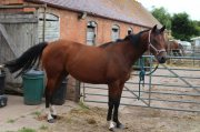 Friesian Horse Available right now